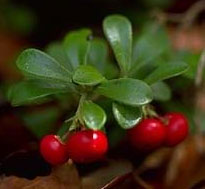 Bearberry (Uva ursi)