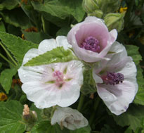 Marshmallow (althea officinalis)
