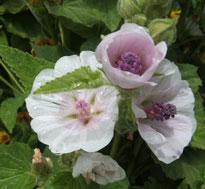 Marshmallow (althea officinalis)