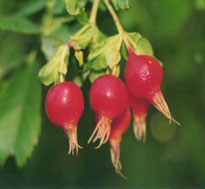Rose Hip (Rosa Canina)