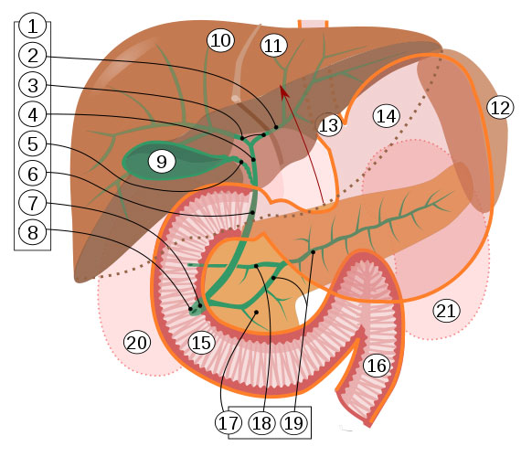 The Bile Ducts And Liver Bile